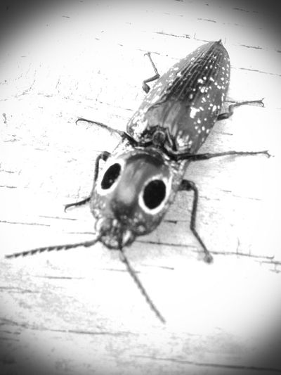 Eastern Eyed Click Beetle False Eyes Black Eyes Matter Florida Nature first eyeem photo 43 Golden Moments The OO Mission The EyeEm Facebook Cover Challenge Showcase July Insects  Insect Photography Beetles The Beetles Black Lives Matter The Eye Black And White B&w Falsies Monochrome Photography Monochrome Welcome To Black Art Is Everywhere Cut And Paste EyeEm Ready