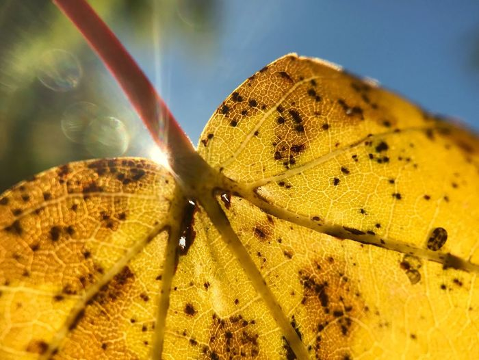 Maple tree leaf in autumn changing colors and dancing one last time with the sun. Maple Leaf Autumn Fall Autumn Leaves Autumn Colors Yellow Leaf Sun Flare Bubbles Blue Sky Last Dance Macro Veins Veins In Leaves