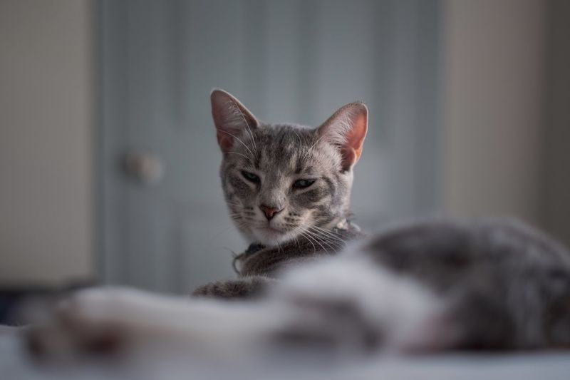 Relax cat EyeEm Selects Cat Pets Feline Domestic Cat Domestic Animals Animal Domestic Animal Themes Mammal One Animal Vertebrate Indoors  Selective Focus No People Relaxation Close-up Portrait Young Animal Home Interior
