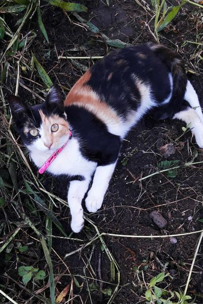 Mimi, gatita calico 4 Calico Calico Cat Calico Cats Are Special Gato Tricolor Pets Portrait Domestic Cat High Angle View Feline Close-up Cat Stray Animal Domestic Animals