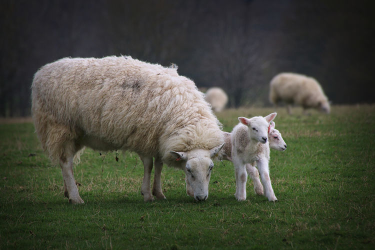 Sheep With Lambs On Field