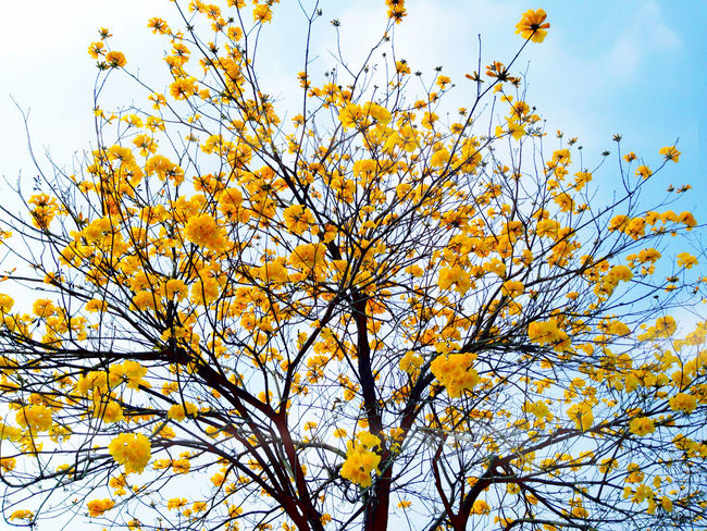 賞不到櫻花,賞黃花也不錯! Yellow Flower Trees Flowers EyeEm Trees