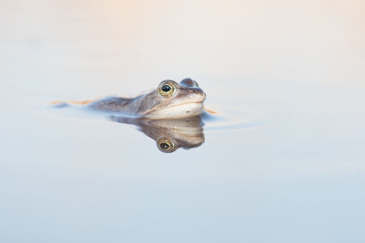 Moor frog Animal Themes Close-up Day Lake Moor Frog, Nature No People One Animal Outdoors Reflection Water White Background Winter