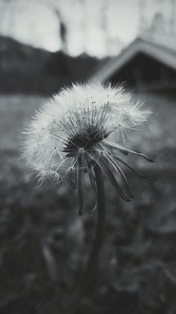 Dandelion Dandelion Dandelionfluff Dandelion Close-up Dandelion Macro Dandelion Fluff, Nature, Flowers, Plants, Stem,