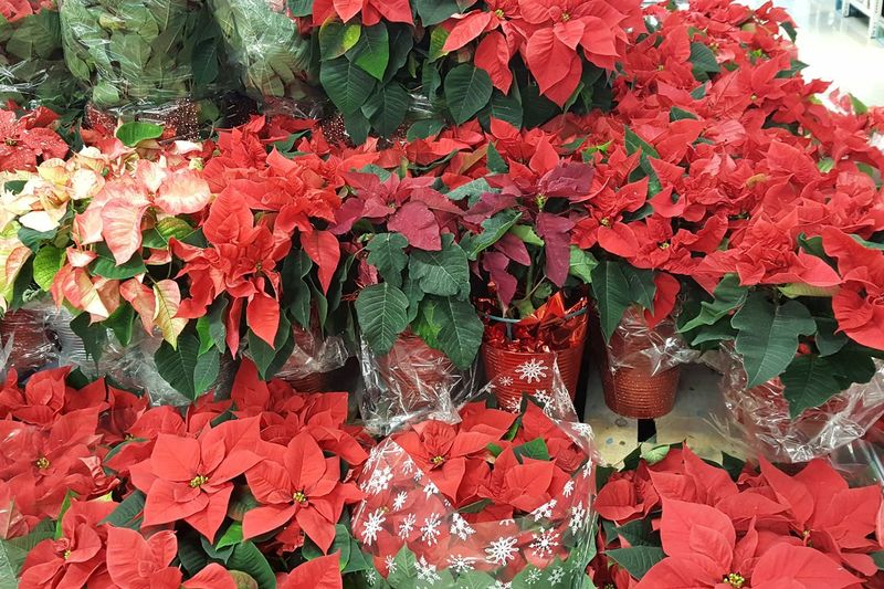 poinsettias display EyeEm Christmas Photography Poinsettia Plants Red Color Leaf No People Day Fragility Beauty In Nature Flower Red Nature