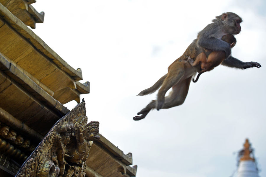 Monkey with her baby jumping from the roof of Swayambhunath temple. Nepal In The Air Kathmandu Monkey Temple Monkey Family Nepal Stupa Swaymbunath Baby Monkey Buddhism Building Exterior Fur Macaca Mulatta Macaque Macaque Monkey Macaque Mother Mammal Monkey Monkey Business Monkey Jumping Monkey Mother With Baby Playful Primate Sacred Sky Temple