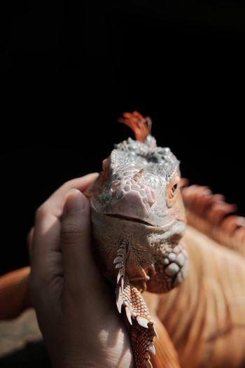 Troy #rediguana #reptile #iguanalife #iguana