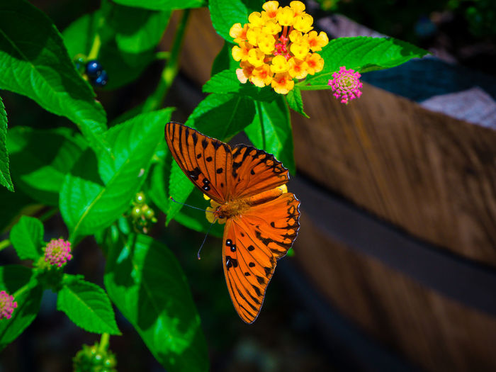 Orange butterfly on lantana camara at yard