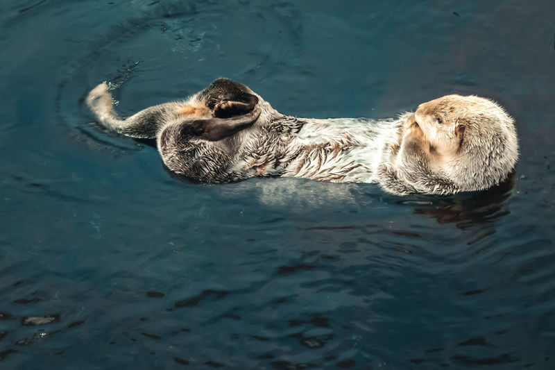 High angle view of otter swimming in sea