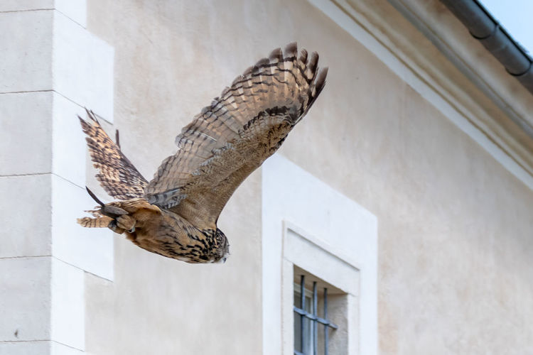 Architecture Animal Animal Themes Built Structure Building Exterior Vertebrate Animal Wildlife Animals In The Wild One Animal Flying Bird Building Spread Wings No People Low Angle View Day Mid-air Bird Of Prey Motion Outdoors Falcon - Bird Backgrounds Wallpaper Eagle Owl  Owl