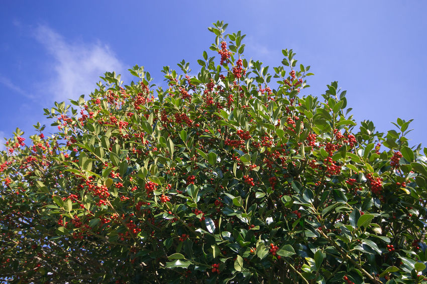 Big plant of Holly against blue sky Holly Christmas Xmas Plant Tree Blue Sky Red Berries Berry Winter Season  Beauty In Nature Freshness Nature Leaf Low Angle View Outdoors No People Green Color Blue Red Plant Part