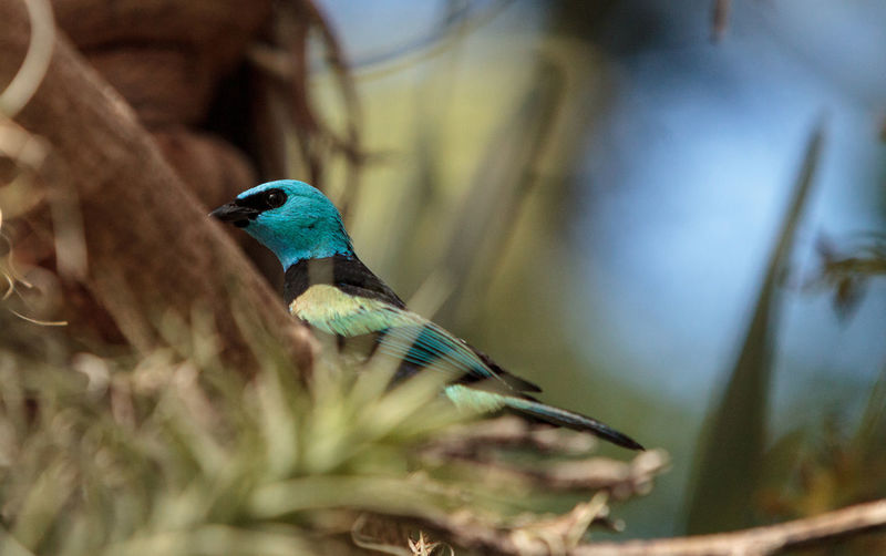 Blue necked tanager scientifically known as Tangara cyanicoilis is found in Central Columbia. Avian Bird Blue Head Blue Necked Tanager Bright Blue Feather  Nature Perching Plume Tanager Tangara Cyanicoilis Tree Wild Bird Wildbird Wildlife Wing