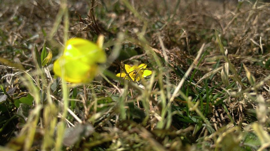 to early for spring Grass Yellow Nature Plant Green Color Outdoors Beauty In Nature Close-up Flower Blade Of Grass Field Growth Day Tranquility Beauty In Nature Doorwaytoanewworld