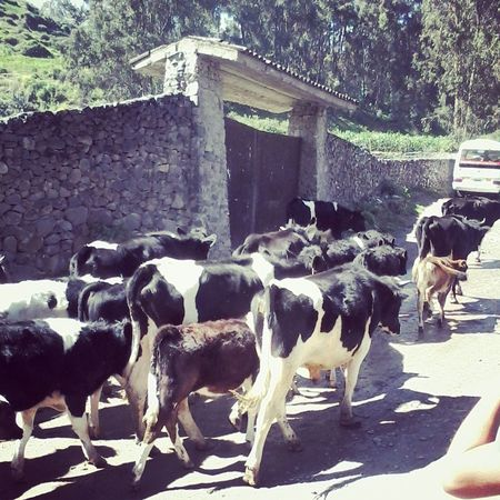 Cows Obrajillo Peru Traveling