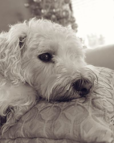 Weechon Cute Pets Pet Animal Themes West Highland White Terrier Portrait Dog Looking At Camera Cute Animal Hair Puppy Lying Down Mixed-breed Dog
