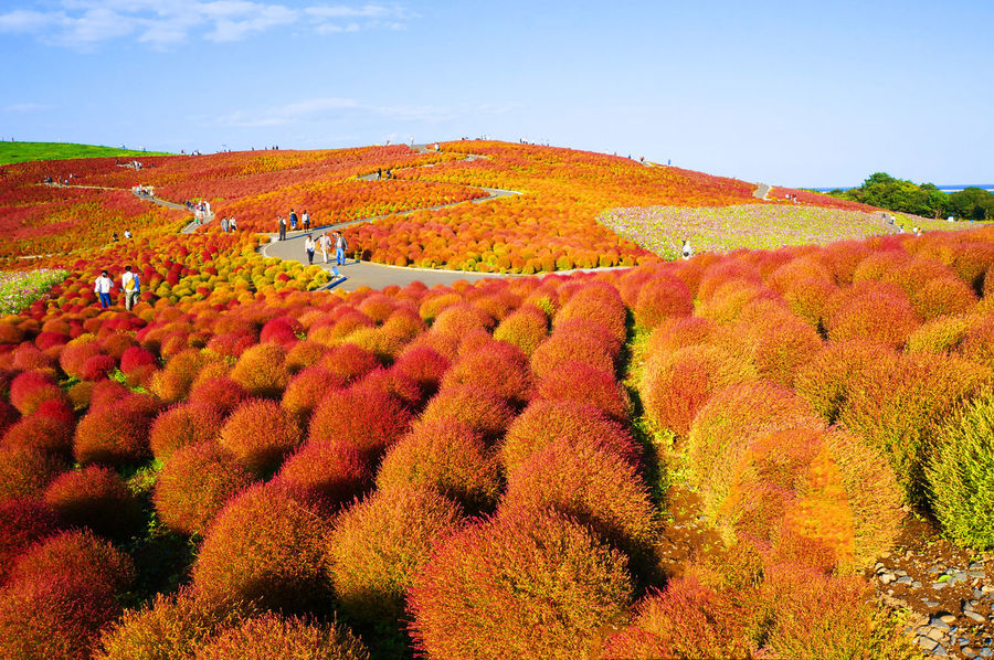 2014 Autumn Bassia Scoparia Beauty In Nature Field Growth Landscape Nature Outdoors Plant Red Scenics Sky コキア ホウキギ ホウキグサ 国営ひたち海浜公園 茨城 Hitachi Seaside Park