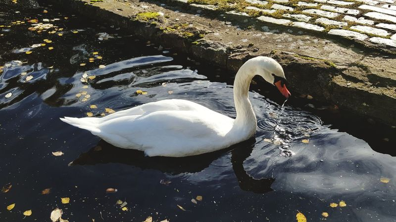 Animals In The Wild Swan Bird Animal Themes Swimming Lake Animal Wildlife Water No People Water Bird Nature One Animal Outdoors Day