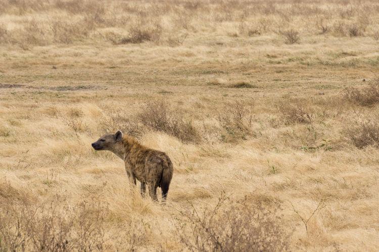Hyena standing on ground