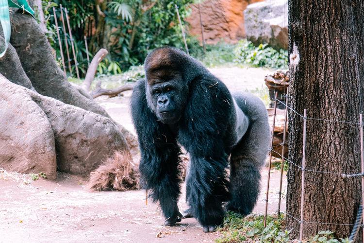 Big Boy Monkey