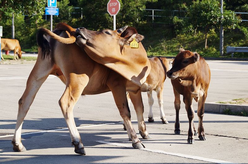 Close-up of cows on street
