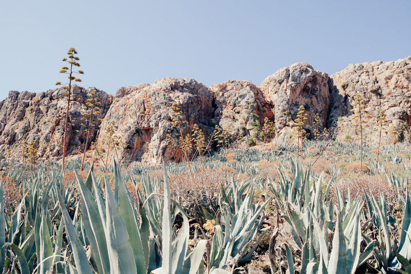 Agaves field in Gramvousa island, Crete, Greece Crete Greece Crete Island Agave Agave Fields Agave Plant Agaves Beauty In Nature Clear Sky Crete Gramvousa Mountain Outdoors Tranquil Scene Tranquility Travel Destinations