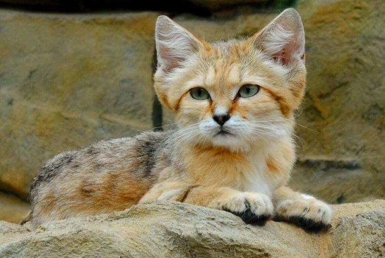 Sand cat Sandcat Nature Beautiful Photography
