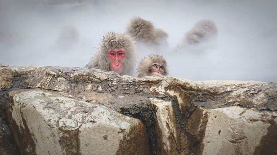Monkeys In Hot Spring