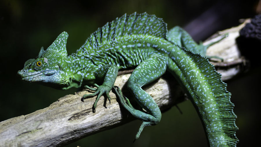 Close-up of green basilisk on branch