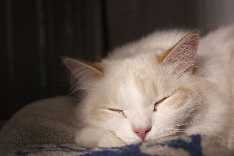 sleeping cat Sleeping Cat Nevamasquerade Siberiancat Whitecat Domestic Cat Sleeping Pets One Animal Eyes Closed  Domestic Animals Animal Themes Close-up Portrait Mammal Indoors  No People