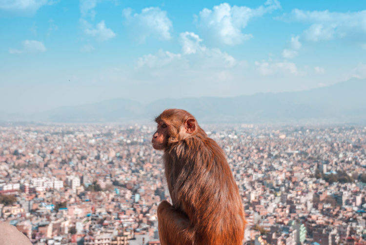 Monkey looking over city