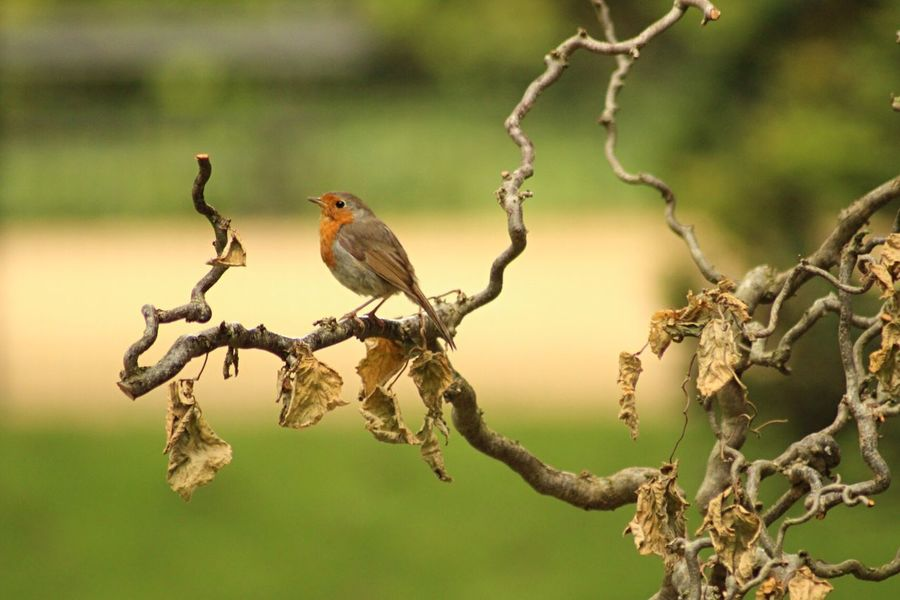 Robin on wood Perching Bird Animals In The Wild Focus On Foreground Animal Wildlife One Animal Branch Animal Themes No People EyeEm Gallery Beauty In Nature Quiet Moments EyeEm Best Shots - Nature Day Outdoors Nature Tree EyeEm Nature Lover EyeEm Best Shots Rouge Gorge Robin Orange Color Wooden Post
