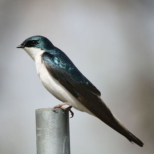 Tree Swallow. Wildlife Wildlifewednesday Bird *birds Swallow bestbirdphotos bestbirds naturephotography nature naturephotographer freelancephotographer jacobinphotography photographer photo coloradophotographer coloradophotography denverphotographer hireme 303photography 303 wildlofephotography wildlifephotographer refuge wildliferefuge nationalwildliferefuge canon canonites canonusa