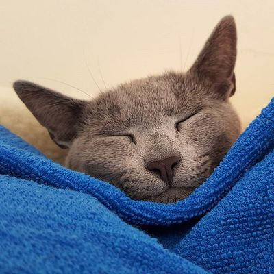 Do I look cute asleep?? 😉😄😴😙😙 Catsofinstagram Kittensofinstagram Russianbluesofinstagram Russianbluekitten RussianBlue Russianbluecat Instacat Instakitty Greycat Silvercat Bluecat Blue Cat_features ロシアンブルー Propetsfeature Catstocker Catstock Excellent_cats Rosyjskiniebieski Russischblau Gats Gatos Cute Azulruso Catsrequests catsmoshn1cecatsproplancatthedailykitten The Week On EyeEm