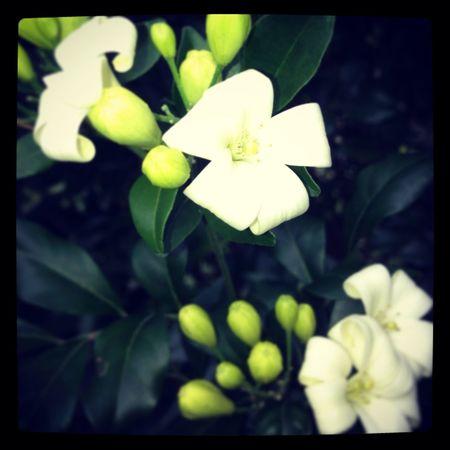 Flowers in my garden, Jasmine!! Smells beautiful!!