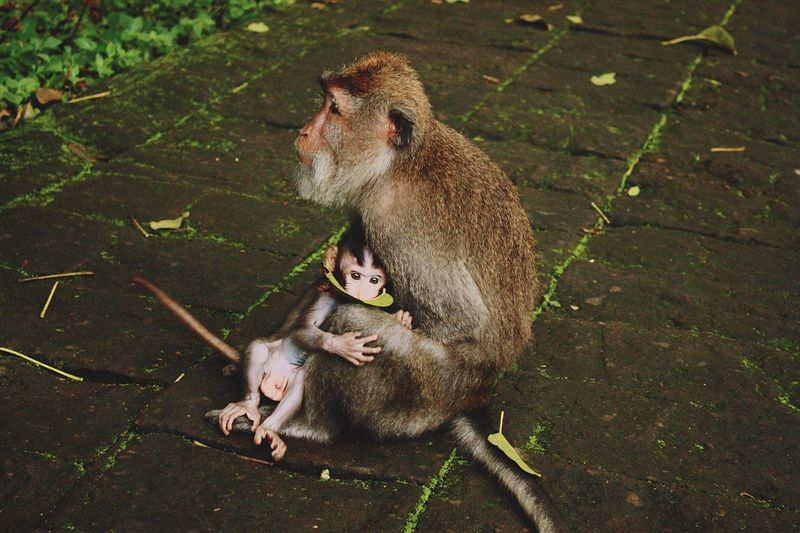 Close-up of monkey with infant sitting on footpath