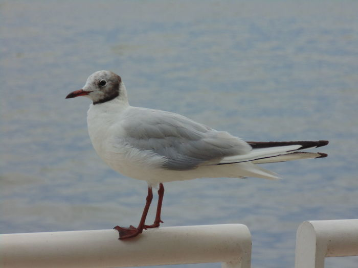 Laughing gull,