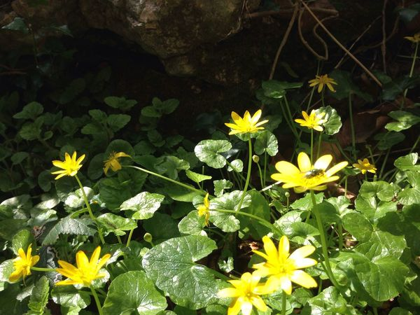 Yellow Flower Flowers Forest Plants Plant Green Leaf Leaves Nature Fly No People Marsh Marigold Caltha Blooming Day Outdoors Beauty In Nature Freshness Green Color Flower Head Ireland Wood Forest