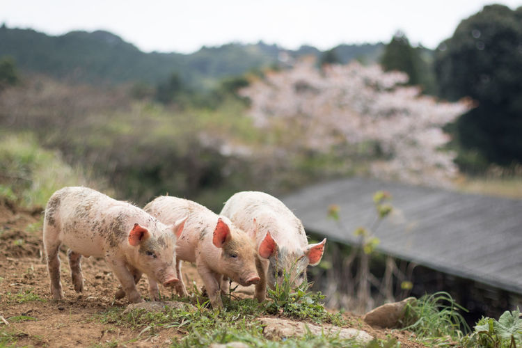 Pigs Standing On Field Against Mountain At Farm