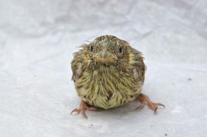 baby sparrow Animal Themes Baby Bird Birdy Close-up Day Frightened  Nest No People One Animal Sparrow