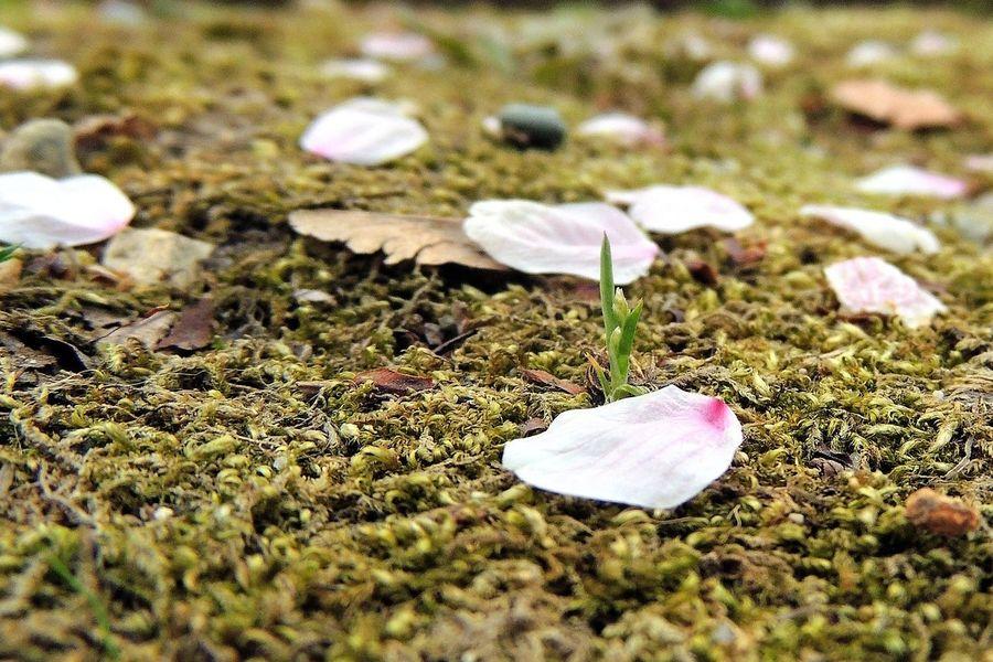 Sakura 今日は秋田に出張! 桜もちょっと散りかけかな? Flowers Nature Macro