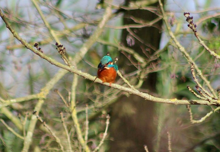 Kingfisher Tree