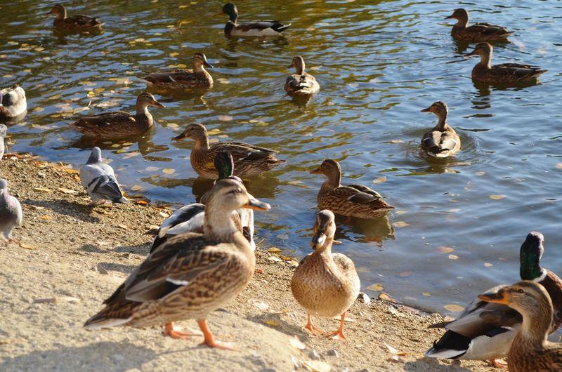 Flock of ducks by lake