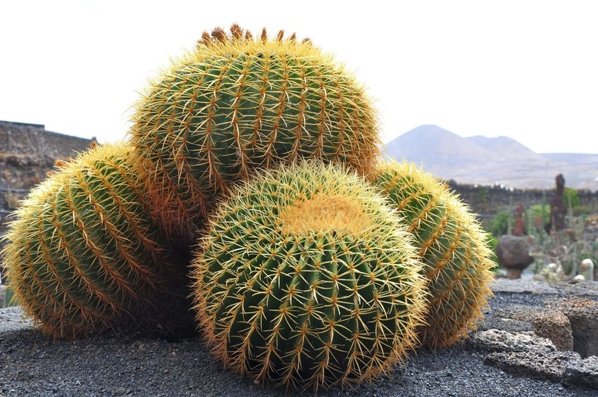 Cacti Balls Balls Cacti Cactus Needles Pain Sharp