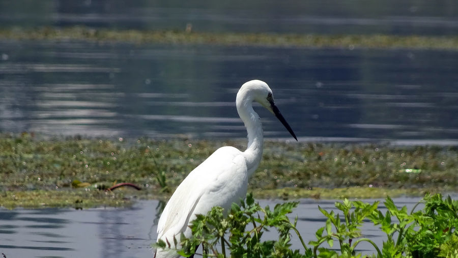 Birds of The Valley Animal Themes Animal Wildlife Animals In The Wild Beak Beauty In Nature Bird Close-up Day EyeEmNewHere Focus On Foreground Great Egret Heron Lake Nature No People One Animal Outdoors Rakeshtiwari Swan Water White Color