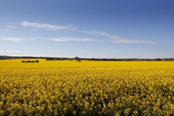The yellow of a canola crop spreads across the landscape in South Australia Canola Crops  Travel Travel Photography Agriculture Beauty In Nature Canola Field Crop  Day Field Flower Fragility Freshness Landscape Nature No People Oilseed Rape Outdoors Plant Rural Scene Scenics Sky Springtime Yellow