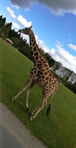 One Animal Animal Wildlife Animals In The Wild Cloud - Sky Day Giraffe Animal Themes Green Color Sky Nature Grass No People Outdoors Mammal Serengeti-Park, Hodenhagen The Week On EyeEm