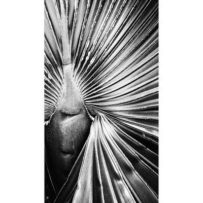 Palmera Natureonly Nature_obsession Blancoynegro blackandwhite instaabenza instaart instamoment bnw_spain bnw_universe bnwphoto bnw clubepixel clubofthephoto clikat pictureoftheday movilgrafias ig_exquisite pickoftheday bnw_spain instalike instagramers instafun
