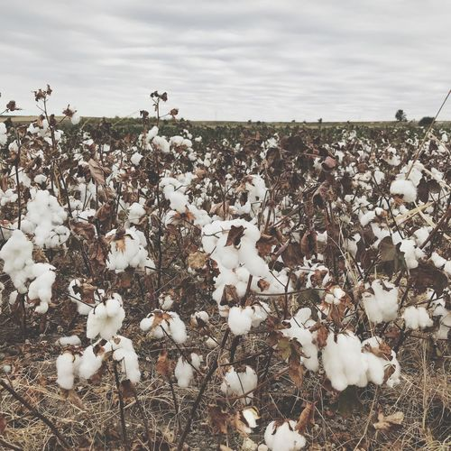 Fullfillment Cotton Field Sky Cloud - Sky Nature No People Day Plant Land Beauty In Nature Environment Field Agriculture Landscape