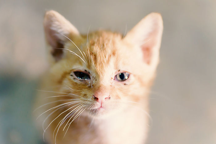 Cute Cat Cute Pets Domestic Life Ginger Cat Kitty Looking At Camera Thai Cat Animal Animal Themes Cat Cat Face Close-up Day Domestic Animals Domestic Cat Feline Ginger Cat Indoors  Kitten Mammal No People One Animal Pets Portrait Whisker