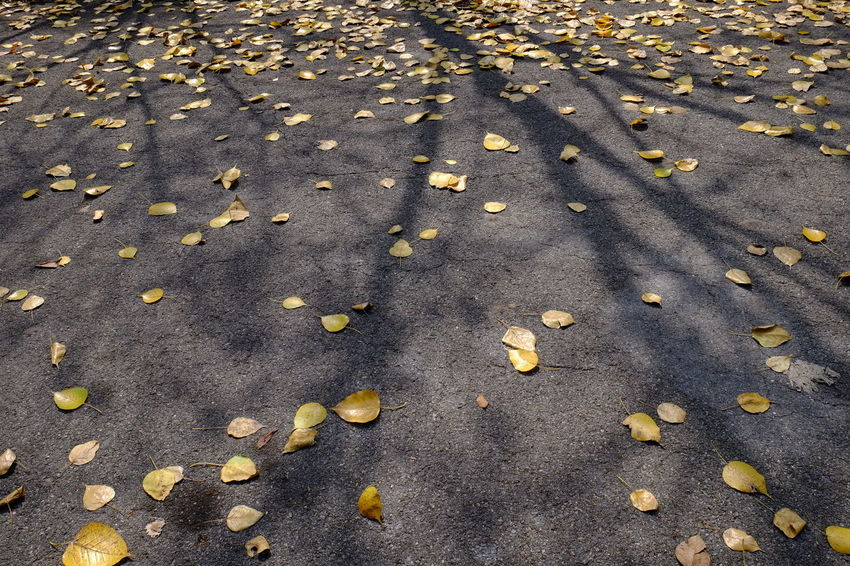 Bodhi Tree Leaf 🍂 Road Sunny Asphalt Road Autumn Autumn🍁🍁🍁 Bodhi  Bodhi Leaf Branch Day Fall Leaf Leaves Leaves 🍁 Light And Shadow Nature Outdoors Road Shadow Street Sunlight ☀ Transportation Yellow Yellow Leaf